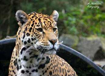 Curious Jaguar by ASHURII-sgtfunkytown