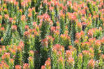 Background Fynbos by African-Amber