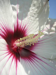 Flower Series- Hibiscus 1 by rustydoorknob