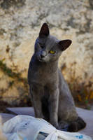 Gray street cat by TheDesignConspiracy