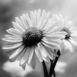flower by stevenfields