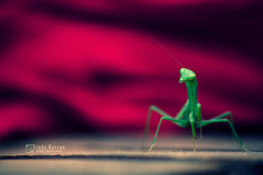 Mantodea by linda-Bee