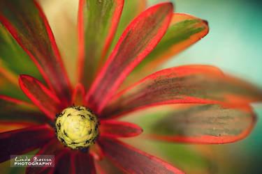 Leucadendron2 by linda-Bee