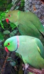 Parrots (2) by sheereenabba