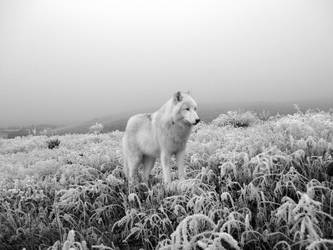 Winter Wolf by willowdiamond