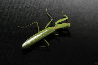 Praying Mantis by TSDMK