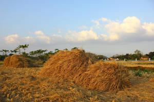rice straw by andhikazanuar