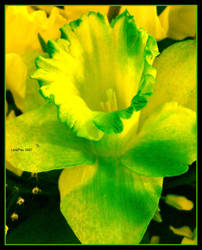 St. Paddy's Daffodil by LuneFeu