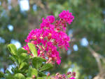 Crape Myrtle by JoAnneVance