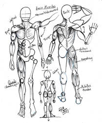 Draw Basic Muscles for Artists by Diana-Huang