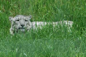 Resting Snow Leopard by NicamShilova
