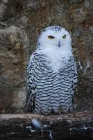 Snowy Owl 3 by NicamShilova