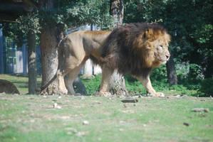 Lion 2 by NicamShilova