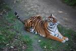 Siberian Bengal Tigress 3 by NicamShilova