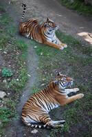 Siberian Bengal Tigress 4 by NicamShilova