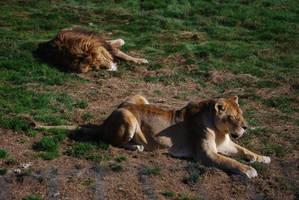 Lions Couple by NicamShilova