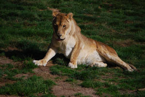 Lioness Awakening by NicamShilova