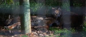 Resting Lynxes by NicamShilova