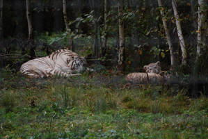 Mother White Tiger and Cubs by NicamShilova
