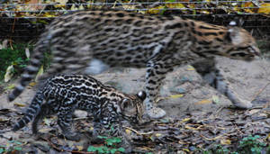 Ocelot Mother and Cub by NicamShilova