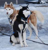 Sleg Dog 3 by NicamShilova
