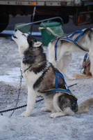 Sleg dog 4 by NicamShilova