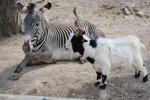 Zebra and Goat by NicamShilova