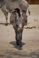 Zebra Approach by NicamShilova