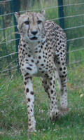 Nervous Cheetah 2 by NicamShilova