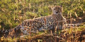 Seated Cheetah by NicamShilova