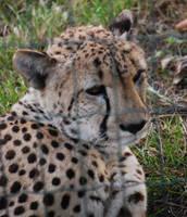 Quiet Cheetah by NicamShilova