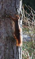 Climbing Squirrel by NicamShilova