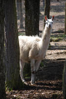 White Llama by NicamShilova