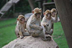 Barbary Macaque Pack by NicamShilova