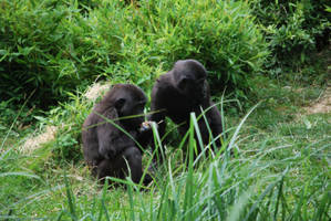 Gorilla Cubs by NicamShilova
