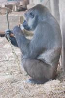 Female Gorilla by NicamShilova