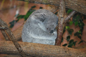 Tired Koala by NicamShilova