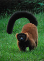 Red Ruffed Lemur by NicamShilova