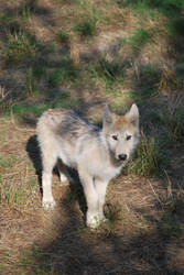 Grey Wolf Cub by NicamShilova