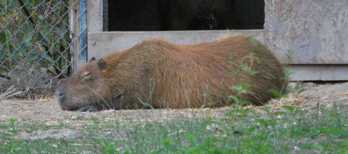 Rest of the Capybara by NicamShilova