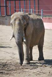 African Elephant by NicamShilova