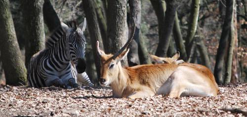 Zebra and Antelope by NicamShilova
