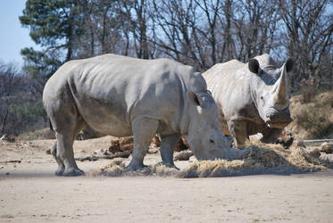 Rhinoceroses's Lunch Time by NicamShilova