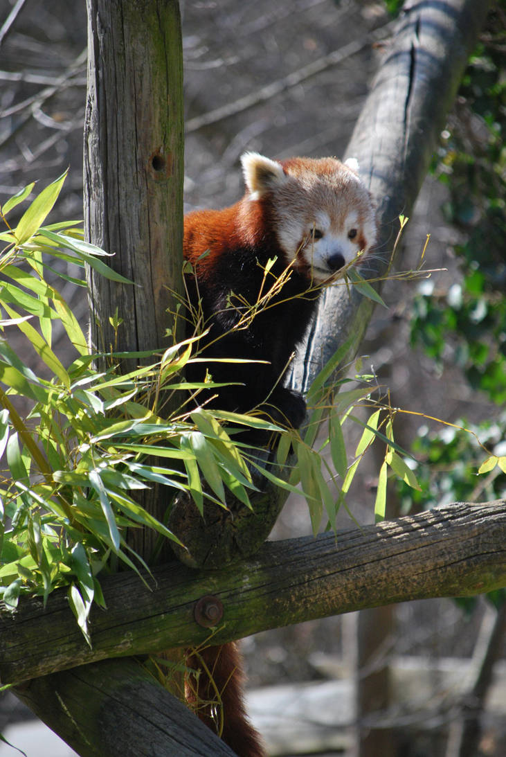 Red Panda 4 by NicamShilova