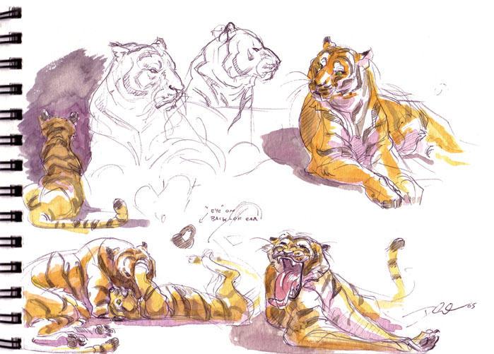 Tiger studies_Watercolor by davidsdoodles