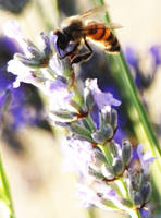 Bees and Lavendar 2 by Samtheengineer