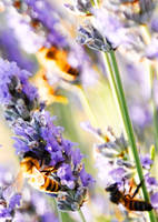 Bees and Lavendar 3 by Samtheengineer