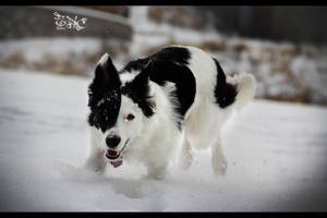 Nissa The Border Collie 1 by SpAzZnaticShuRIken