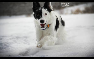 Nissa The Border Collie 2 by SpAzZnaticShuRIken