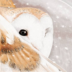 shy barn owl by mybirdy